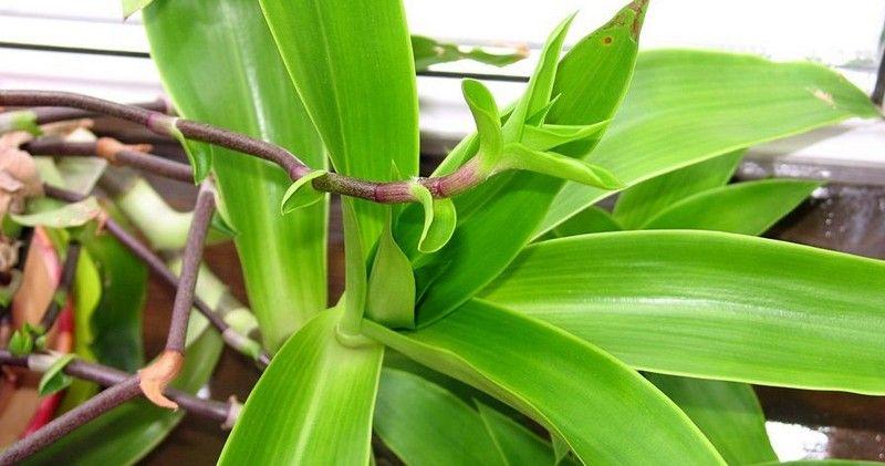 Растение Золотой ус